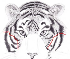 how-to-draw-a-tiger-0023