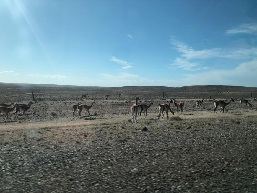 cervos na pista em trelew