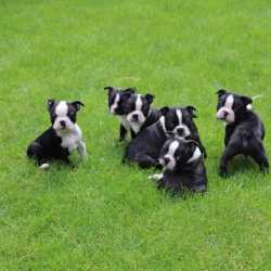 boston terrier cachorros macho y hembra