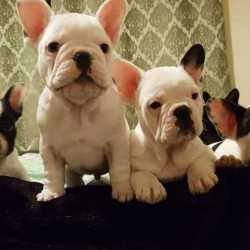 5-qualitykc-french-bulldog-puppies-ready-now-5c28d9e141f01