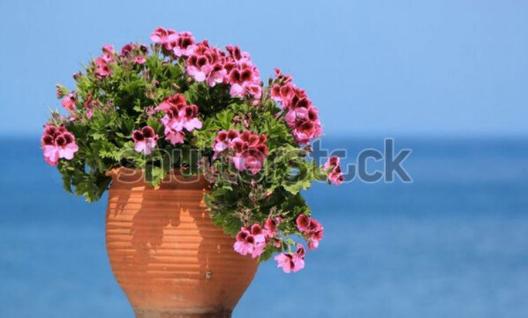 Vase de géraniums sur fond d'océan | Vendre ses photos en ligne