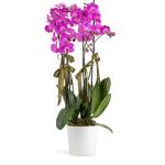 Orchid Pink 4 Stems Plant, Venera Flowers, online flower delivery dubai