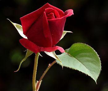 Opinione25 Aprile San Marco una Rosa un Libro