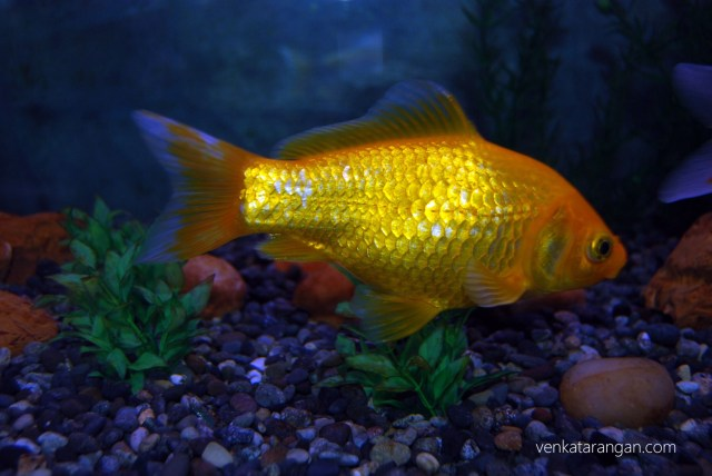 A lovely gold fish