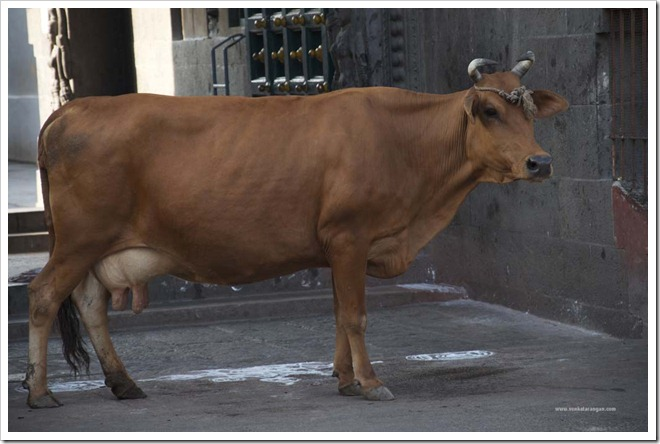 Cow in front of Kapaleeswarar Temple
