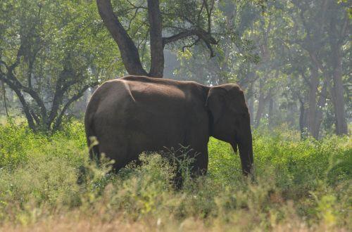 Mudumalai Forest Elephant
