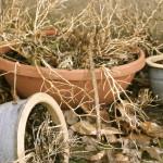 Dead_plant_in_pots