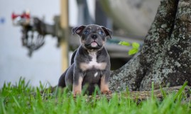 EXTREME BUILD POCKET BULLY PUPPIES