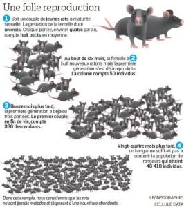 Reproduction des rats, invasion de rats à paris