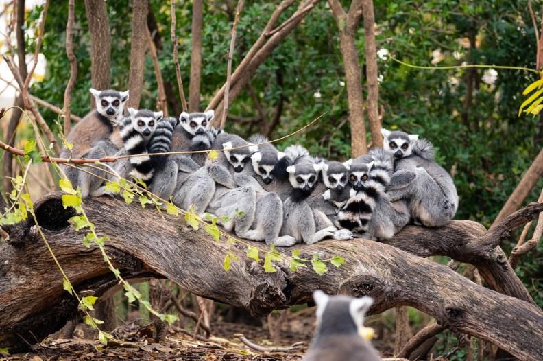 Una famiglia di lemuri del Madagascar