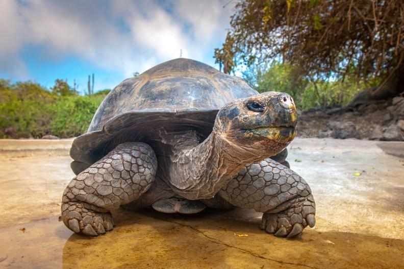 Una tartaruga gigante delle Galapagos