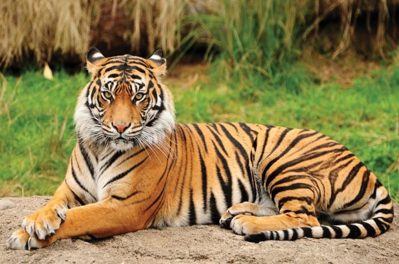 Una bellissima tigre del Bengala