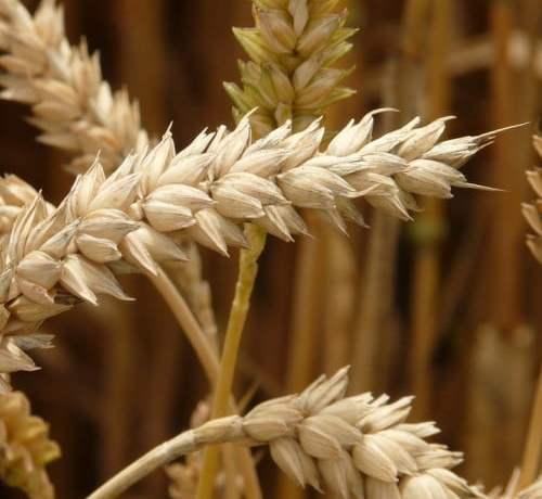 Калибровка пшеницы