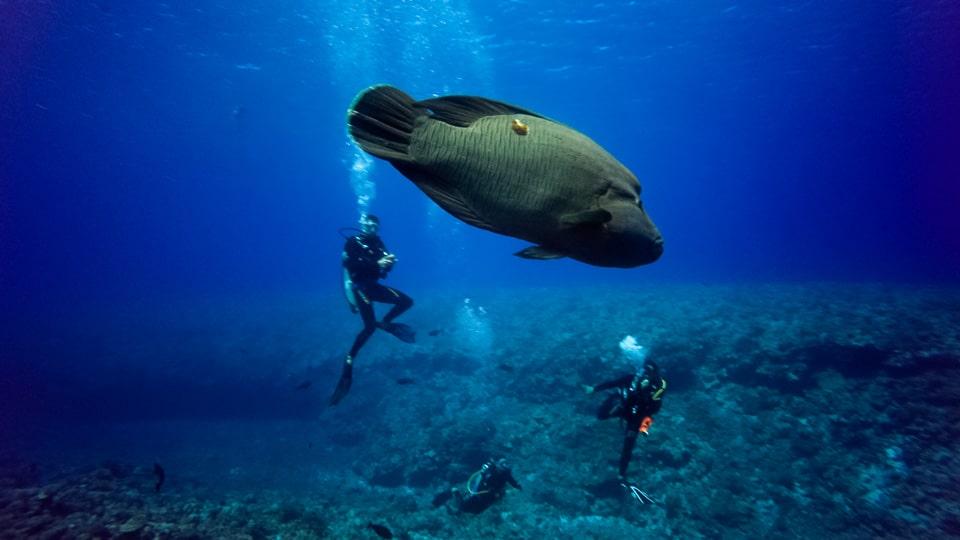 polynesie plongee napoleon