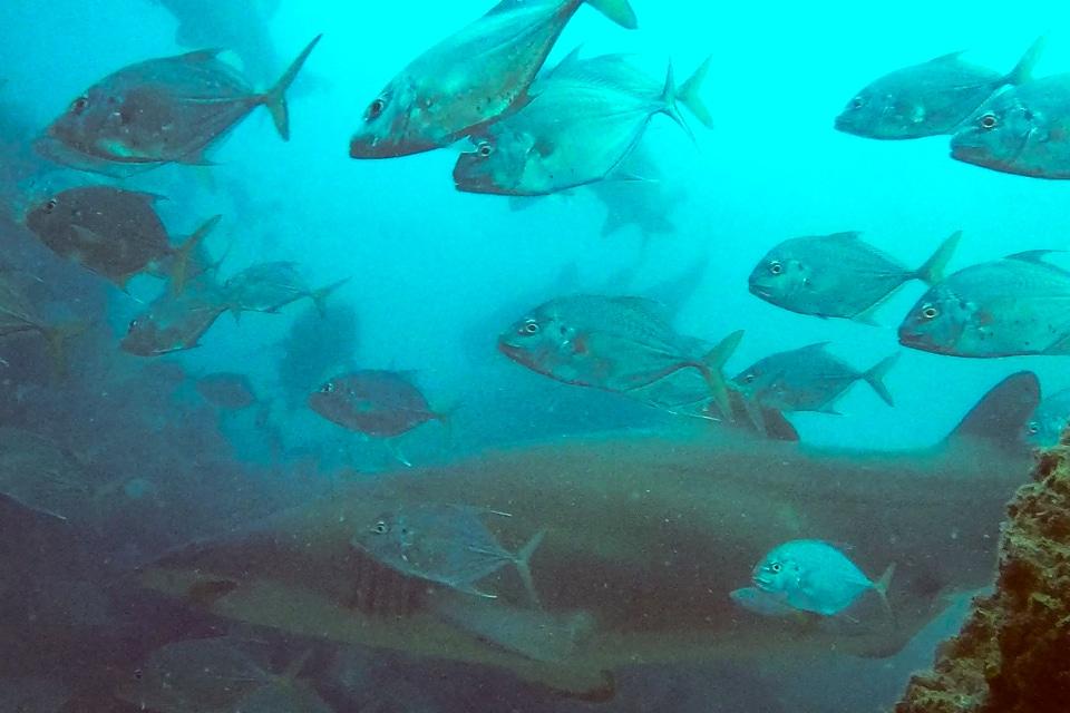 Diving australia wolf rock sharks bulls