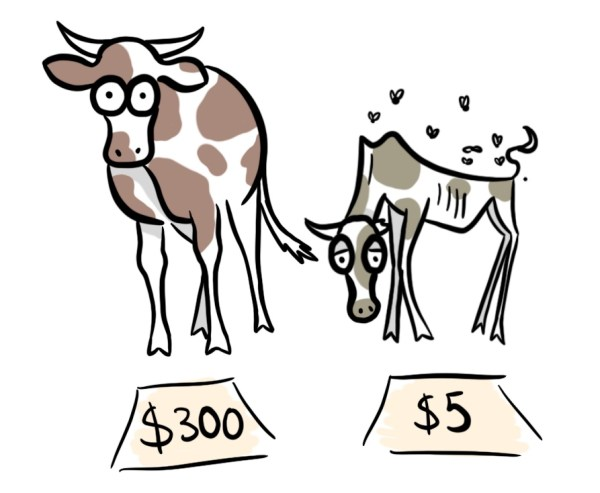 You get what you paid for when you hire a copywriter. Cartoon of a cheap old cow and an expensive healthy cow.