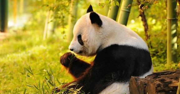 panda-foodpanda