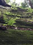 Ferns grow out of the side of the sandstone ledge