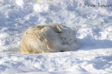 wolf timberwolf majestic wolves nap female eat meat creature afternoon taking years weigh between