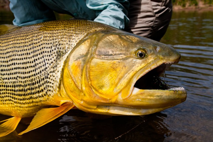 Untamed Angling Golden Dorado