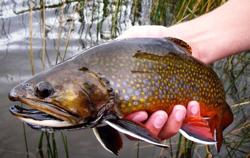 Colorado brook trout