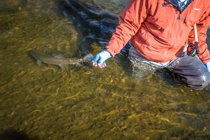 Missouri River trout