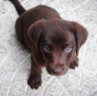 jonge labrador