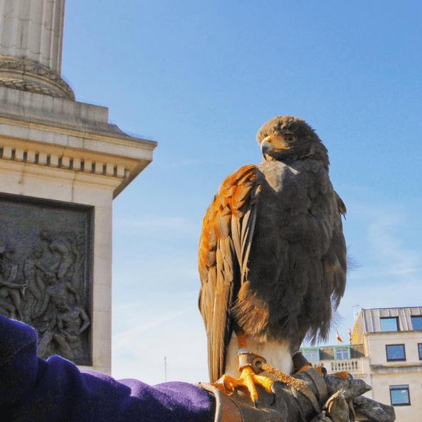 Harry the harris hawk