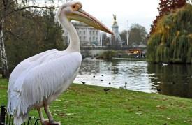 Ruzicasti pelikan stanovnik Hyde Parka