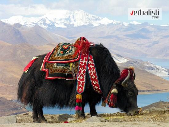 Yak near Yamdrok lake, Tibet
