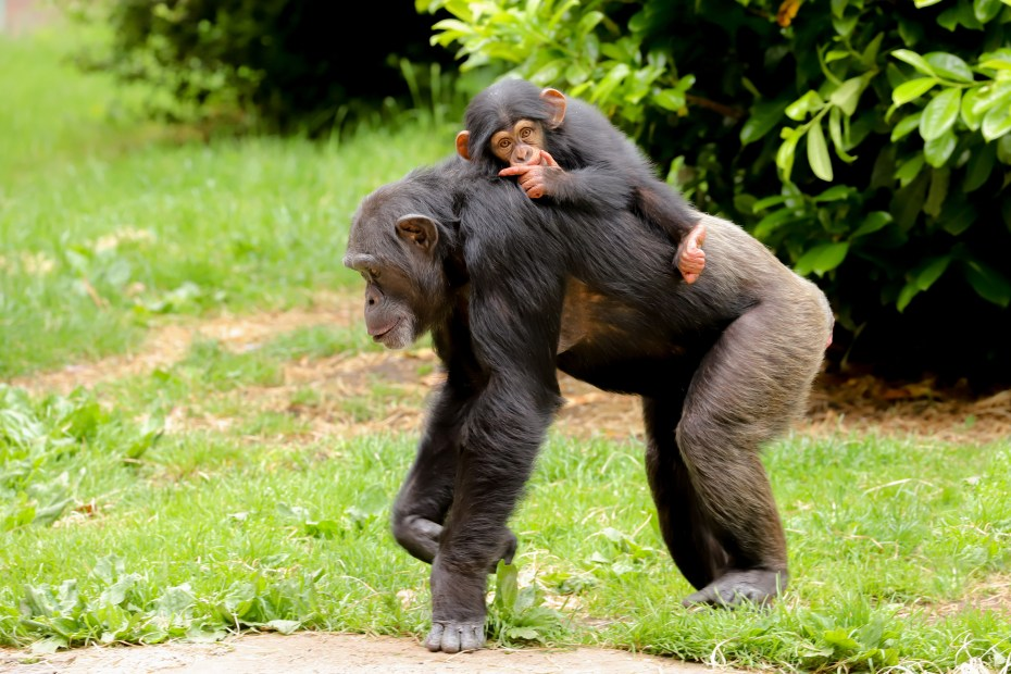 A mother chimpanzee with baby on its back