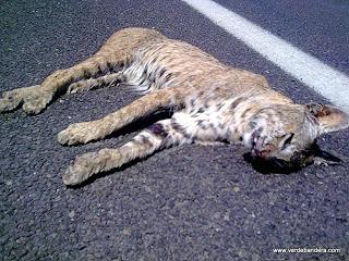 Lince muerto en autopista Zapotlanejo Lagos de Moreno