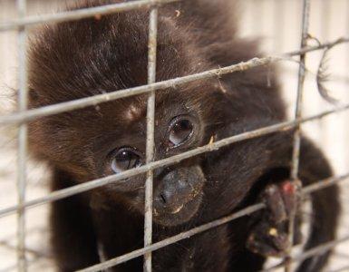 Mono Araña rescatado por la Profepa. Imagen: Profepa