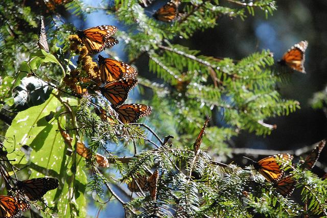 Ocampo, Michoacan. Aspectos del santuario de la mariposa monarca de Sierra Chincua, que comienza a emigrar hacia Canada y Estados Unidos. Foto: Semarnat / Ximena de la Serna