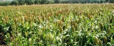 Campo de maíz en Jalisco. Foto: Secretaría de Desarrollo Rural