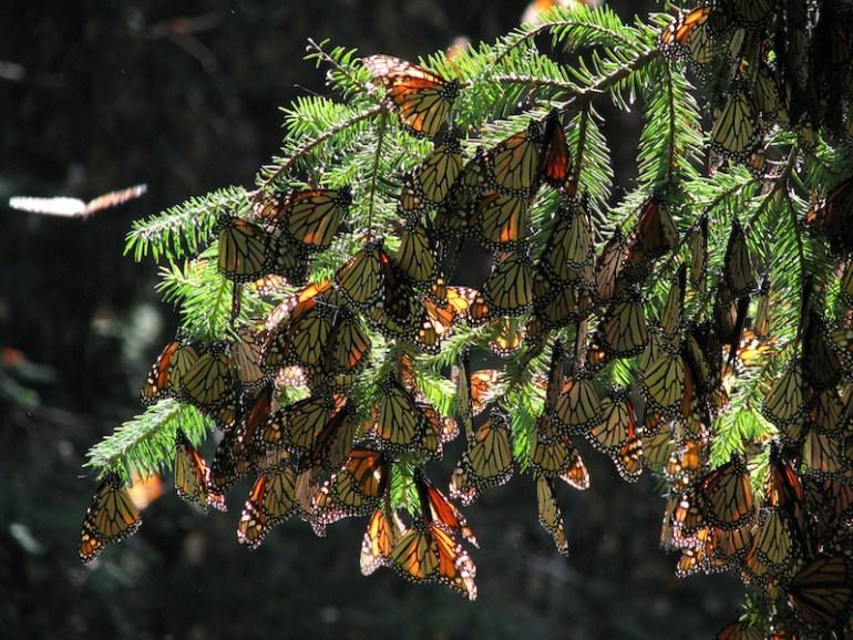 Arribo de mariposas monarca en noviembre de 2014. Foto de la Conanp