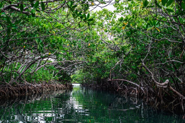 Un bosque de mangle. Foto de la UNAM