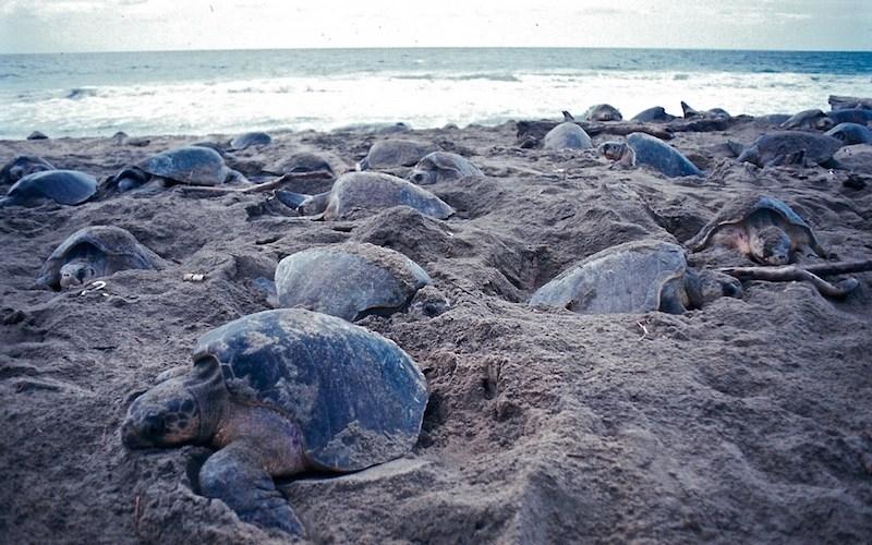 La CONANP, a través del Centro Mexicano de la Tortuga, registró más de 45 mil tortugas Golfinas en la tercera arribazón en el Santuario Playa de Escobilla. Foto: Conanp