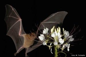 Murciélago magueyero. Foto de la UNAM