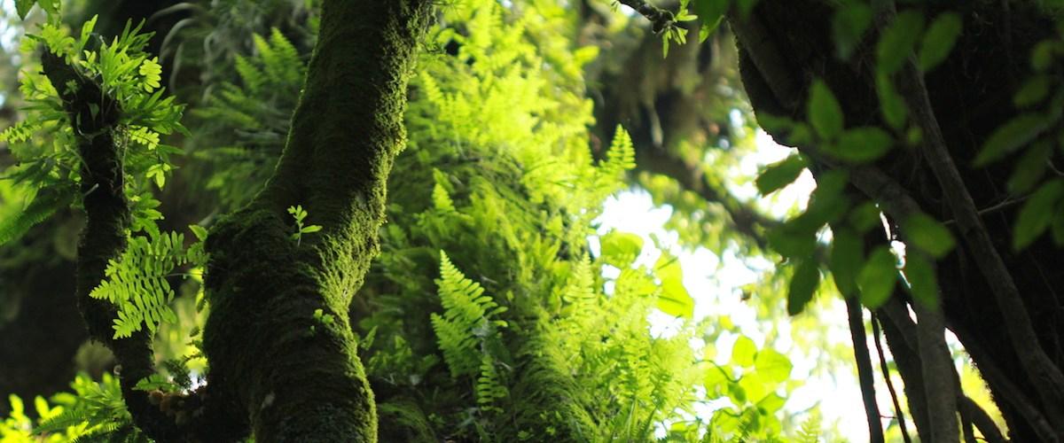 Bosque mesófilo del Parque estatal Nevado de Colima en Jalisco