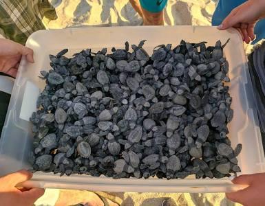 Tortugas marinas en el campamento La Gloria, en Tomatlán