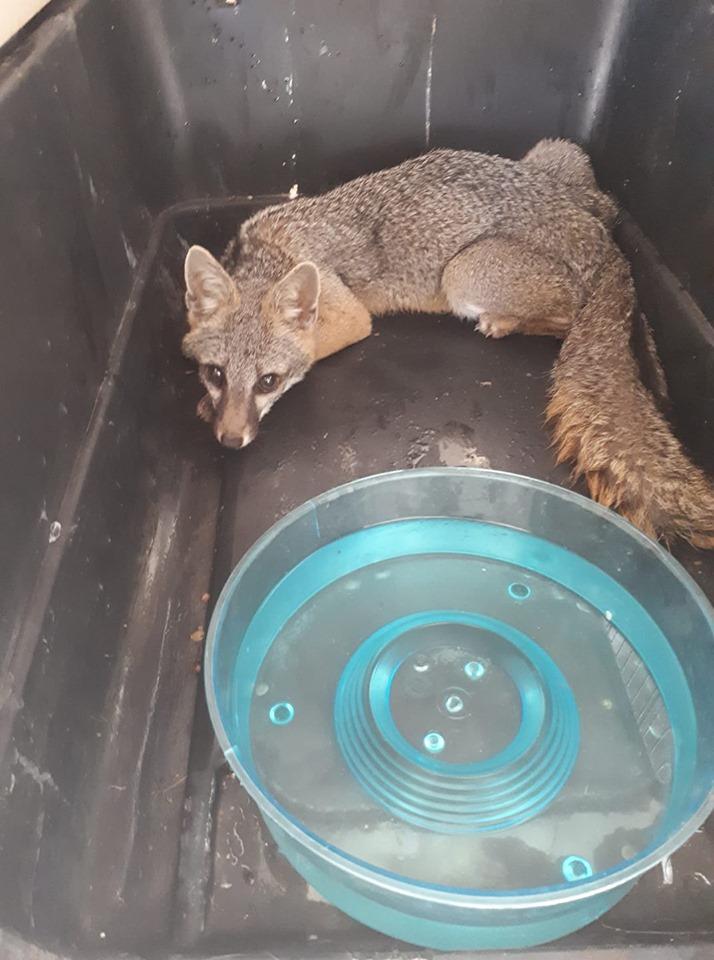 El 11 de mayo una zorra gris fue rescatada por la Coordinación Municipal de Protección Civil y Bomberos de Autlán, dentro de una casa habitación por la zona de El Cerrito. (Foto: Luis Eugenio Rivera Cervantes)