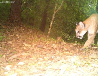 Puma en la Reserva de la Biosfera Sierra de Manantlan