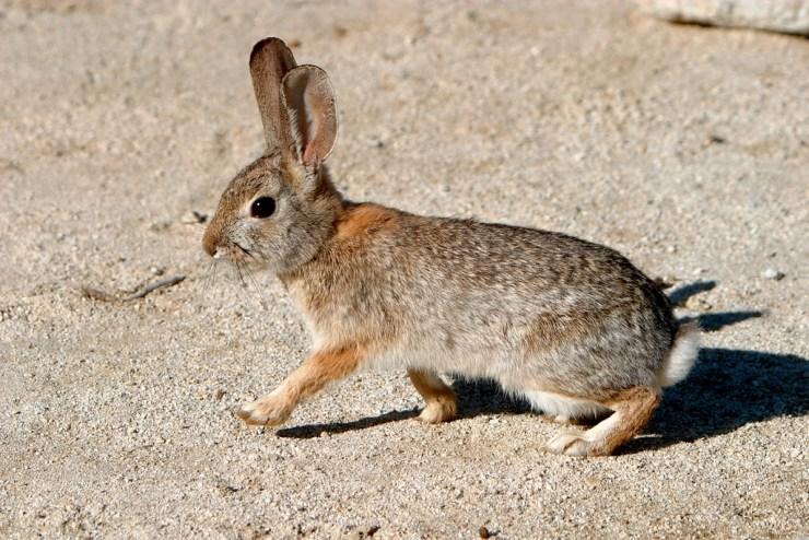 Conejo del Desierto. Foto:Alan Vernon