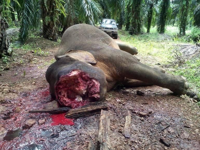 Elefante cazado en Borneo en 2017 para para extraerle los colmillos