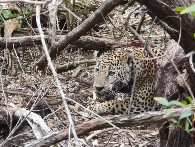 Jaguar. Foto: Conanp