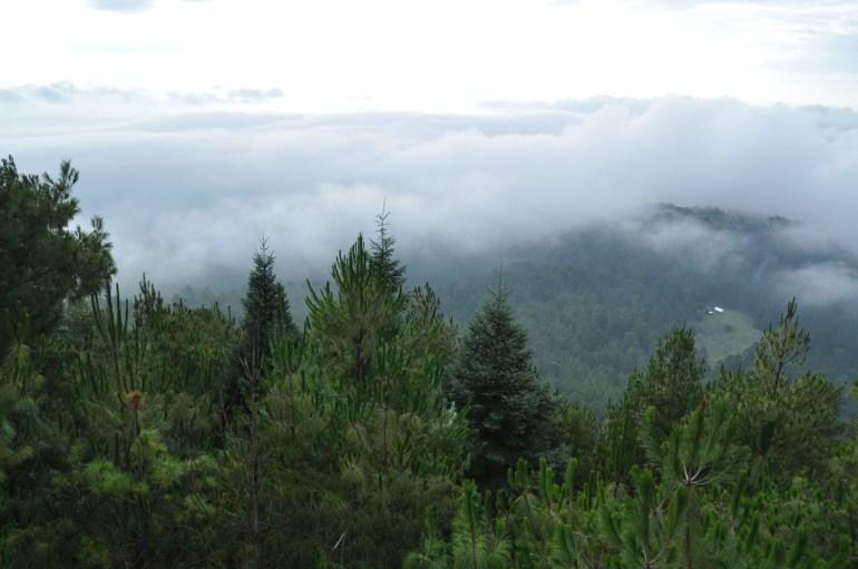 Imagen de los bosques templados de Nuevo San Juan, donde predominan las coníferas. Foto: cortesía Comunidad Indígena Nuevo San Juan Parangaricutiro.