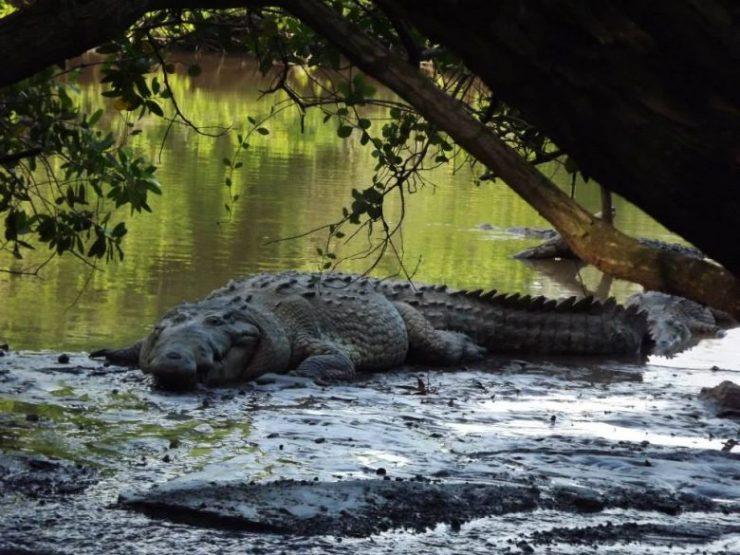 Crocodylus acutus, la especie que se distribuye en Jalisco. (Foto: Ricardo Ojeda).