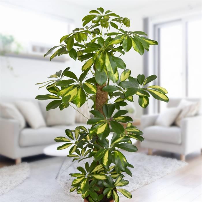 Resultado de imagen de cheflera planta