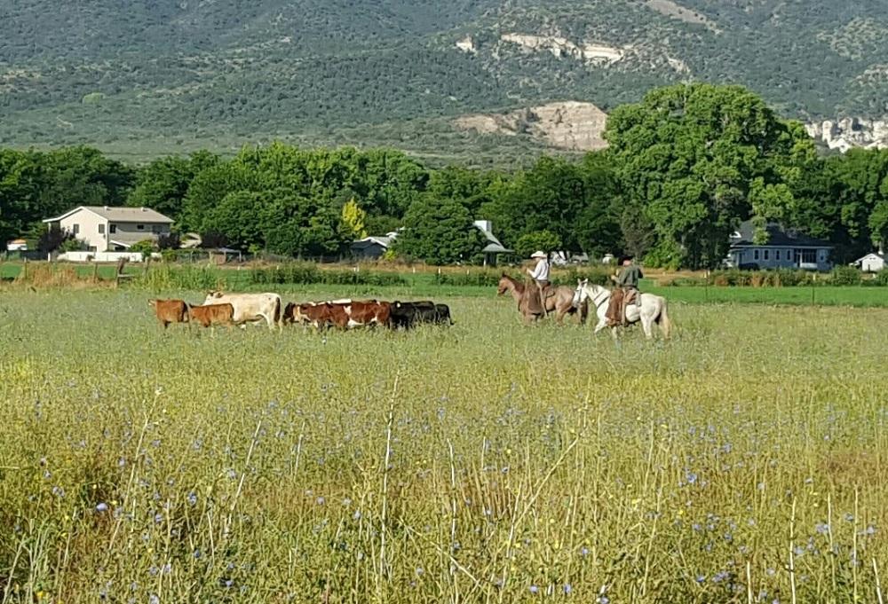 Cattle Round Up